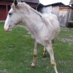 Golden Krone Bistritz Horse